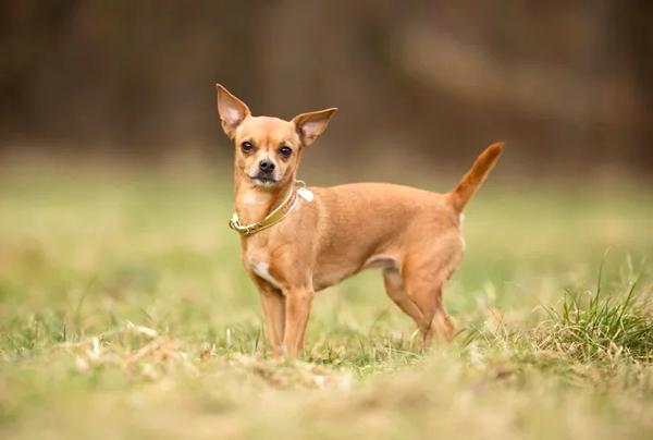 perros de méxico, razas de perros toy, chihuahua