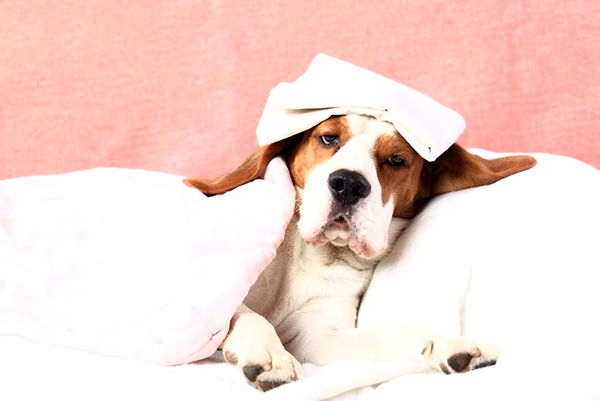 como bajar la fiebre en un perro