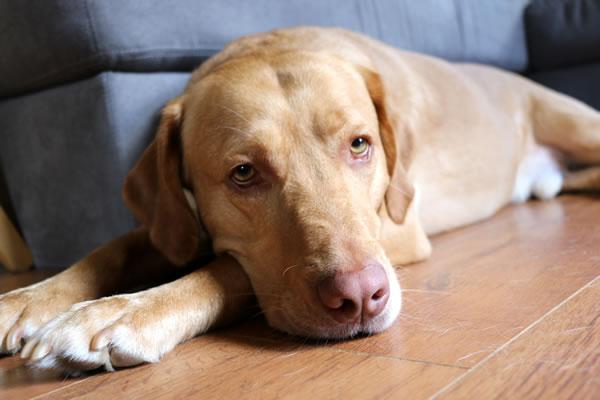 por qué se vuelve rosa la nariz de mi perro