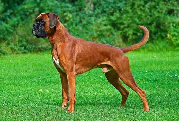características de los perros boxer
