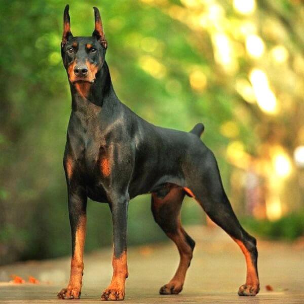características de la raza de perros grandes doberman