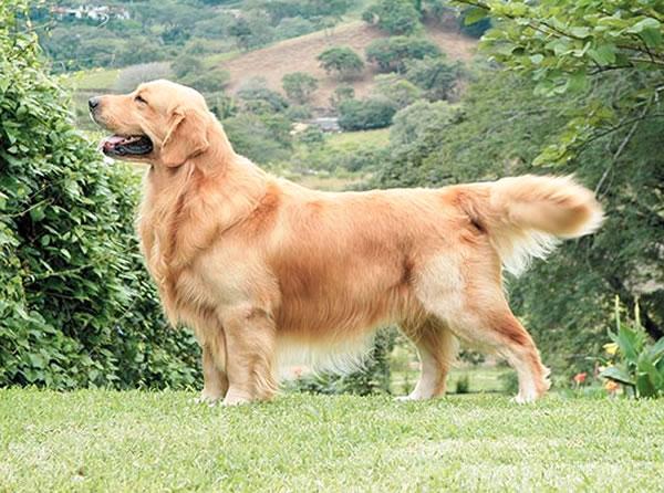 golden retriever características, raza de perros grande