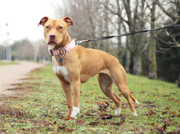 raza de perros medianos pitbull