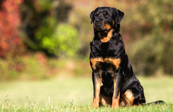 rottweiler, raza de perros grandes