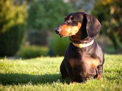 raza de perros pequeños, teckel, dachshund o perro salchicha