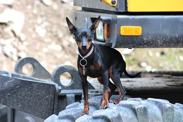 pinscher, raza de perros miniatura y pequeños