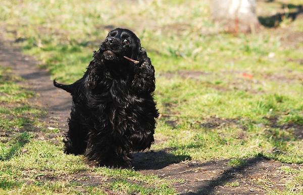 cocker negro, razas de perros medianos