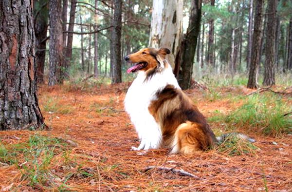 fotos de perros collie de pelo largo