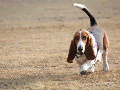basset hound, raza de perros batata, perros medianos