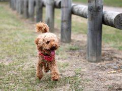 el caniche toy o poodle es un perro de raza toy o enano