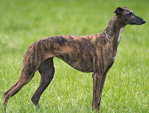 el galgo inglés o greyhound es el perro de raza galgo más popular