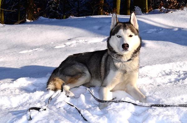 husky siberian de ojos de colores