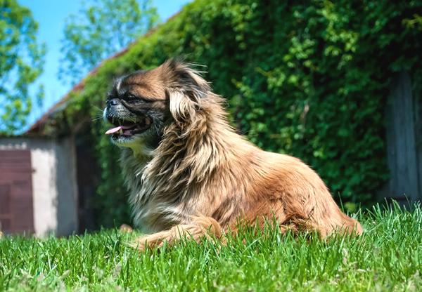 pequinés un perro de raza pequeña de asia