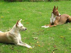 razas de perros en españa, podenco ibicenco