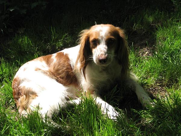 spaniel bretón, perros de raza mediano