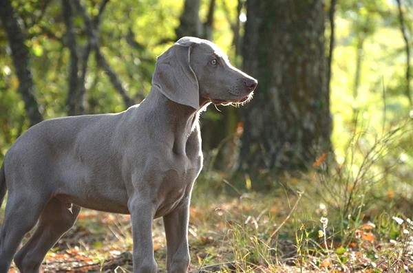 Weimaraner, cuidados y salud, raza de perros grandes