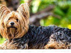 cuidados de un yorkshire, raza de perros pequeños