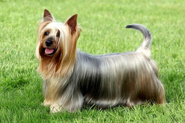 razas de perros peludos, australian sulky terrier