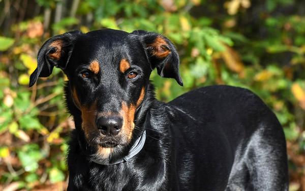 Beauceron o Pastor de Beauce, raza de perros grandes