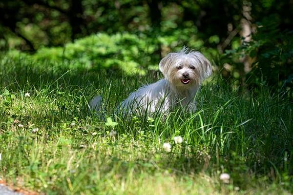 razas de perros peludos y pequeños, bichon maltes