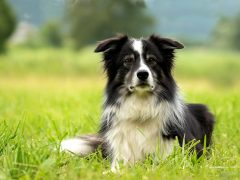 Border Collie, raza de perros medianos