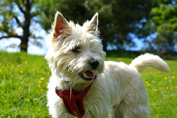 razas de perros pequeños y peludos, cairn terrier