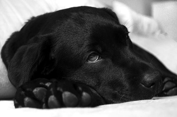 fiebre en perros como bajarla