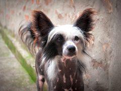 perro crestado chino, raza de perros pequeños