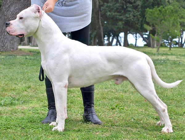 dogo argentino, raza de perros grandes