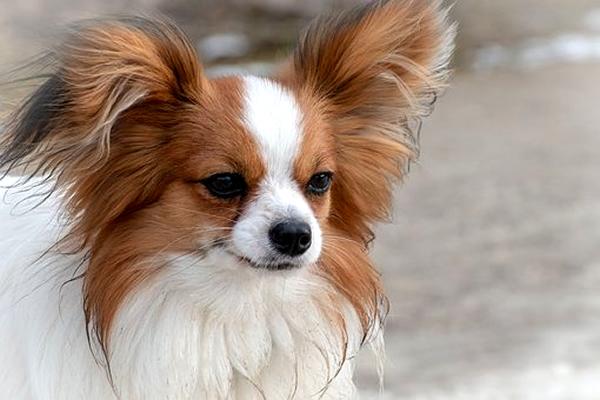 razas de perros peludos, cachorro papillon