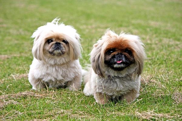 razas de perros peludos y pequeños, pekines