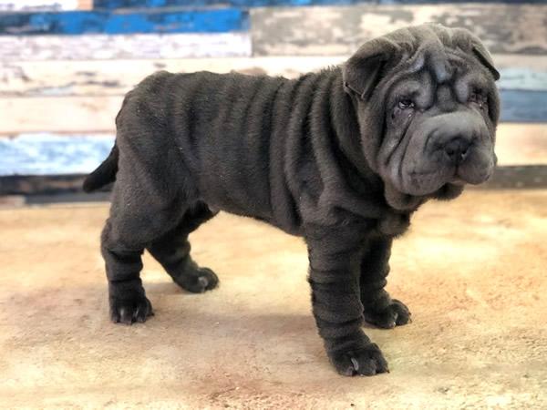 shar pei mini, raza de perros pequeños, china