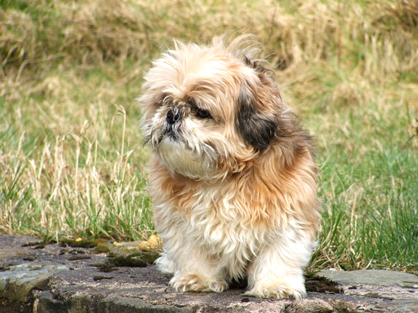 raza de perros chinos tiernos, pequeños y peludos