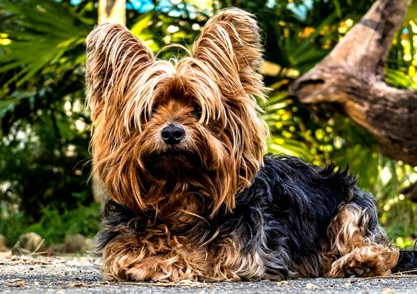 raza de perros peludos, yorkshire terrier