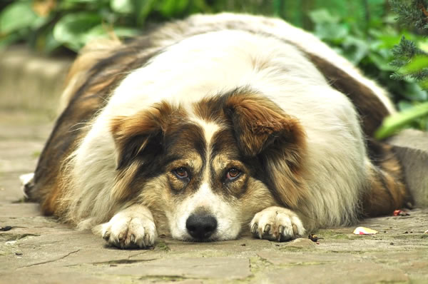 obesidad en perros cachorros y adultos, perros gordos dieta y alimentacion