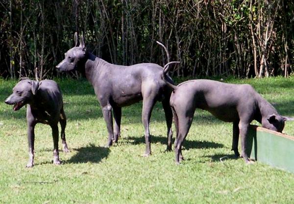 raza de perros pelados mexicanos, xoloitzcuintle