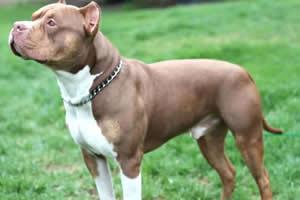 american bully, raza de perros medianos