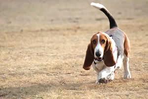 Basset Hound, raza de perros medianos