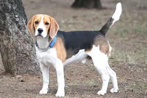 beagle, raza de perros medianos