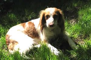 Bretón, raza de perros medianos