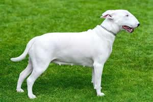 Bull Terrier, razas de perros medianos