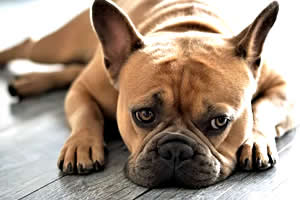 Bulldog Francés, raza de perros medianos