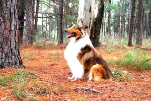 Collie, raza de perros grandes