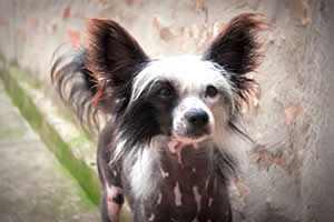 Crestado Chino, razas de perros pequeños