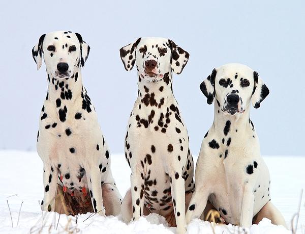 foto de perros dálmata, perros de raza grandes