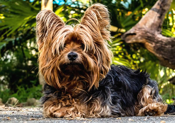 razas de perros pequeños que no crecen