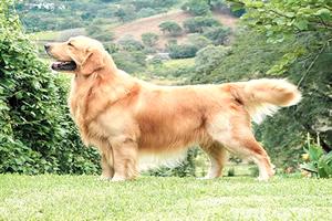 Golden Retriever, razas de perros grandes