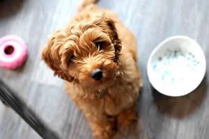 Labradoodle, razas de perros medianos