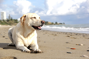Labrador, razas de perros grandes