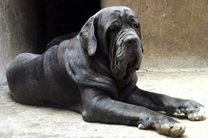Mastín Napolitano, razas de perros grandes